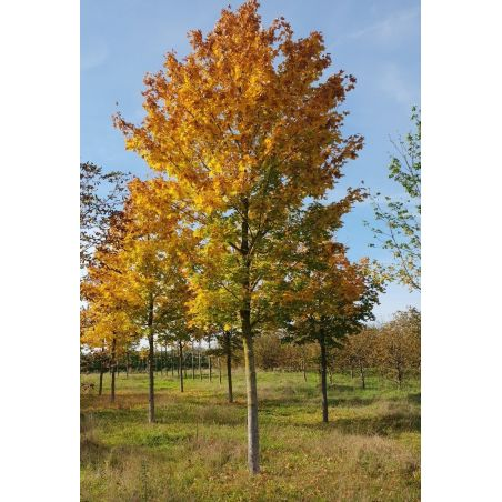 30-40cm stamomvang | Herfst