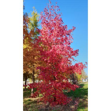 Volwassen Amberboom - Liquidambar Styraciflua