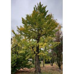 Japanse notenboom - Ginkgo biloba GROOT & UNIEK!
