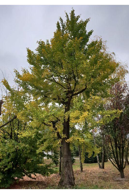 Ginkgo biloba - Volwassen Japanse notenboom