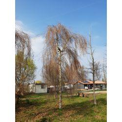 50-60cm stamomvang   Winter
