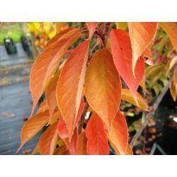 Japanse sierkers | Prunus Kanzan | Herfstblad