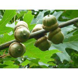Volwassen Moeraseik (Quercus Palustris) Dak vorm