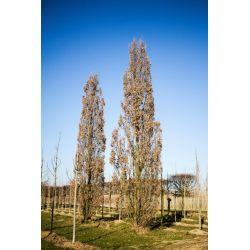 90-100cm stamomvang | Winter