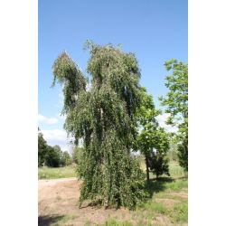 Prieelberk - Betula pendula 'Youngii'