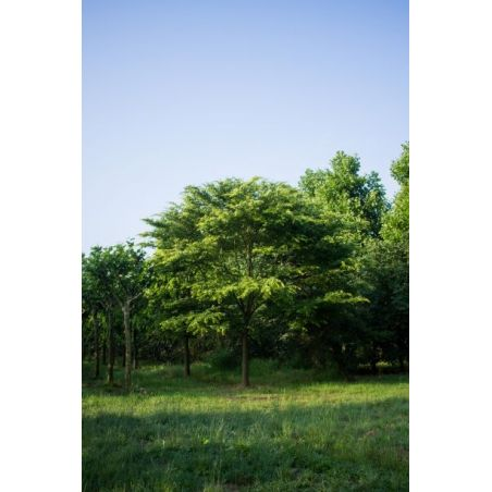 Japanse Zelkova - Zelkova serrata