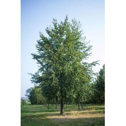 Groene beuk - Fagus sylvatica - GROOT & UNIEK