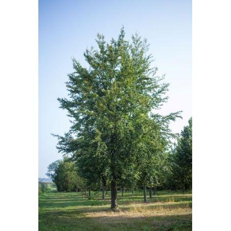 Hoogstam groene beuk | Fagus sylvatica