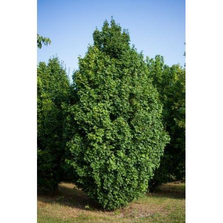 Veldesdoorn beveerd - Acer campestre 'Lienco'