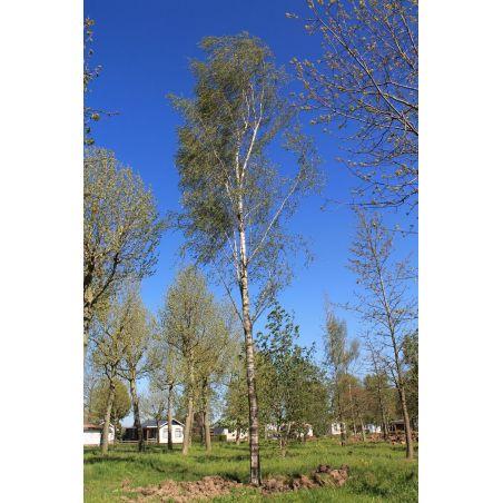 Varenberk - Betula pendula 'Laciniata'