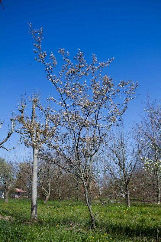 Canadees krentenboompje - Amelanchier canadensis