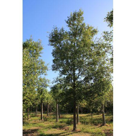 Chinkapin-eik - Quercus muehlenbergii