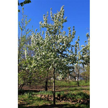 30-40cm stamomvang | Voorjaar
