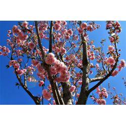 Japanse sierkers | Prunus Kanzan | Voorjaar bloemen