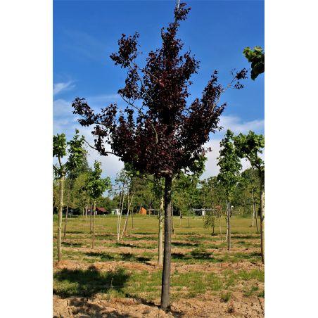 Roodbladige kerspruim - Prunus cerasifera 'Nigra'