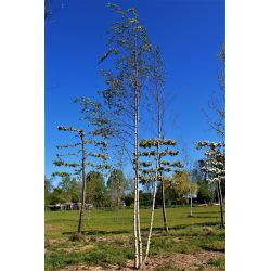 Meerstammige Berk (Himalaya) - Betula utilis var. jacquemontii
