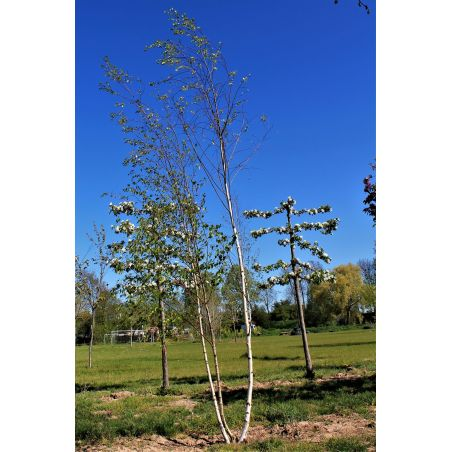 Witte himalayaberk Meerstammig - Betula utilis var. jacquemontii