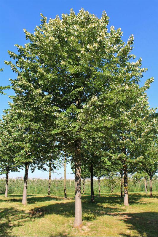 Zilverlinde - Tilia tomentosa 'Brabant'