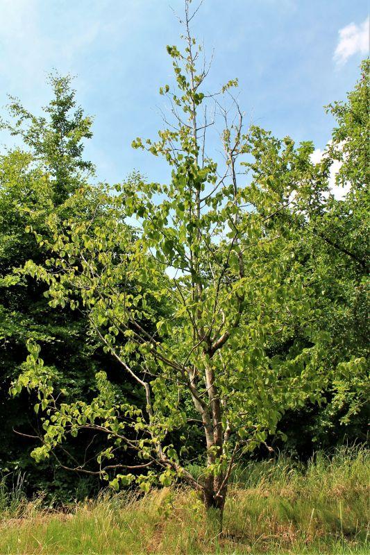 Vaantjesboom Volwassen - Davidia involcrata