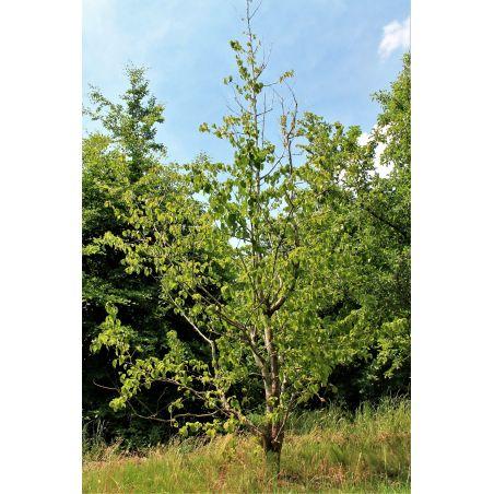 Meerstammige Vaantjesboom - Davidia involcrata