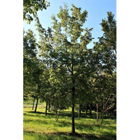 Volwassen europese Hopbeuk - Ostrya caripinifolia