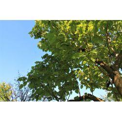 Paulownia tomentosa- Anna paulownaboom