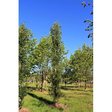 Italiaanse populier - Populus nigra 'Italica'