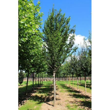 Sierkers 'Umineko' - Prunus 'Umineko'