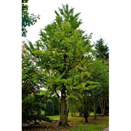 Volwassen japanse notenboom - Ginkgo biloba