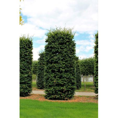 Volwassen groene beuk pilaarvorm 500-550cm - Fagus sylvatica
