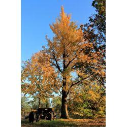 Volgroeide japanse notenboom - Ginkgo biloba
