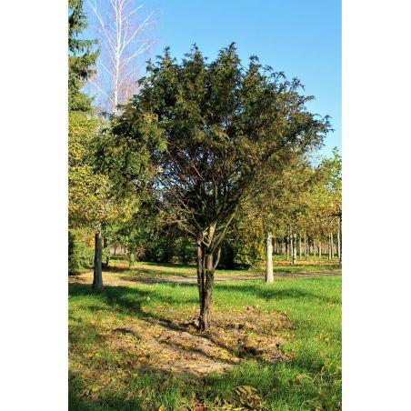 Meerstammige venijnboom - Taxus baccata