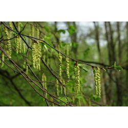 Bloemen haagbeuk | Bloemen carpinus | Bloemen carpinus betulus