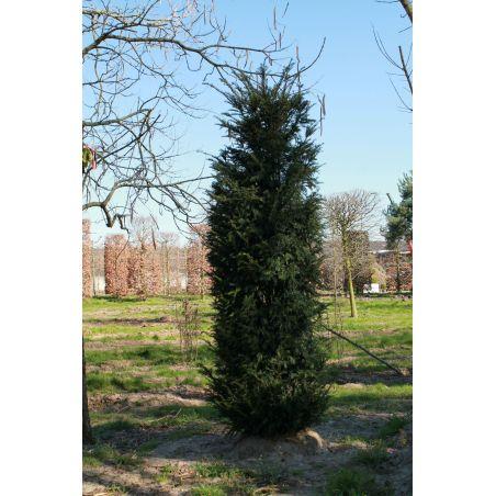 Venijnboom zuilvorm - Taxus baccata