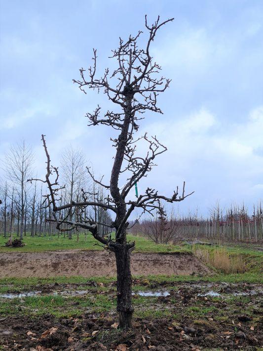 30-35cm stamomvang | laagstam | winter