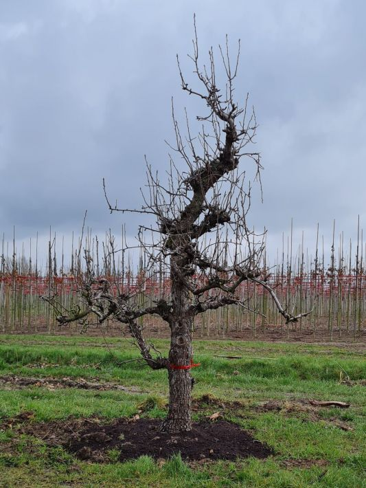 Pyrus communis 'Conference' | Peer 'Conference' | Laagstam Perenboom