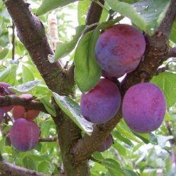 Pruimenboom 'Opal'   Halstam pruimenboom   Prunus domestica 'Opal'   Pruimen