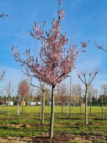 Roodbladige kerspruim | Prunus cerasifera 'Nigra' | Voorjaar | Bloemen