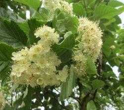Lijsterbes | Sorbus incana | Bloemen voorjaar