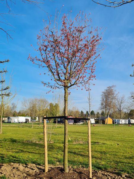 Sargentkers   Prunus sargentii   Voorjaar bloemen