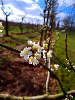 Pruimenboom 'Opal'   Halstam pruimenboom   Prunus domestica 'Opal'   Pruimenbloesem
