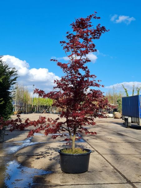 Rode Japanse esdoorn   Acer palmatum 'Bloodgood'  Volwassen Rode Japanse esdoorn