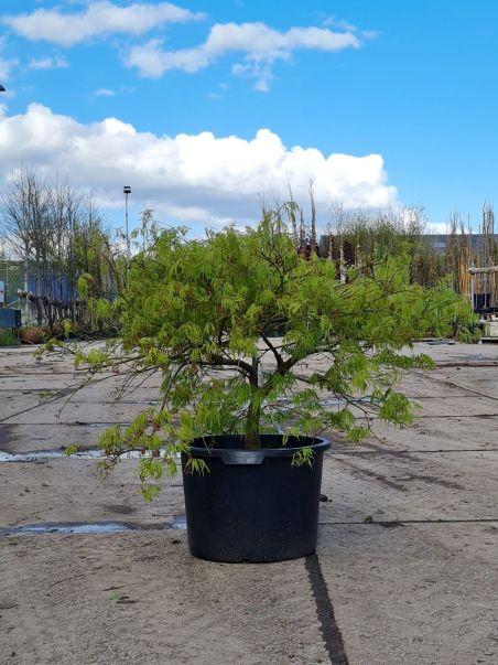 Palmbladesdoorn   Dwergesdoorn   Japanse dwergesdoorn   Acer palmatum 'Dissectum'