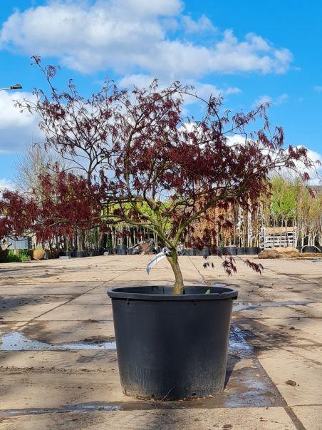 Rode Palmbladesdoorn   Rode Dwergesdoorn   Rode Japanse dwergesdoorn   Acer palmatum 'Dissectum Garnet'
