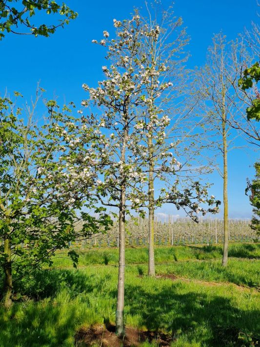 Hoogstam appelboom | Malus domestica | Malus domestica 'James Grieve' | Volwassen appelboom