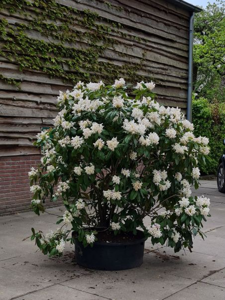 Rhododendron | Rhododendron 'Cunningham's White' | Wit bloeiende Rhododendron
