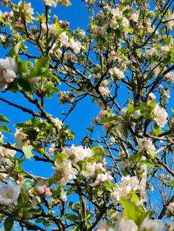 Hoogstam appelboom   Malus domestica   Malus domestica 'James Grieve'   Volwassen appelboom