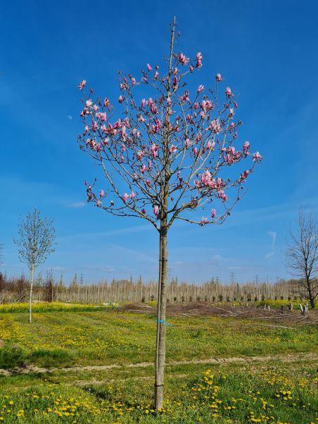 Paarskleurige magnolia | Magnolia spectrum | Hoogstam magnolia