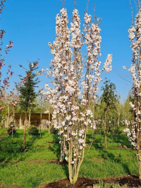 Zuilvormige Japanse sierkers   Prunus serrulata 'Amagonawa'  