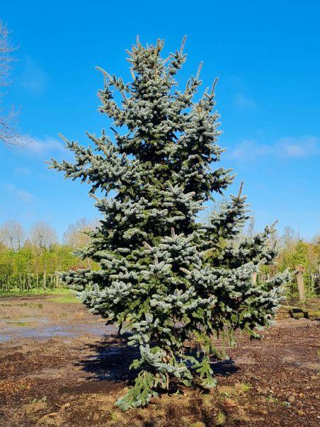 Blauwspar   Picea pungens 'Oldenburg'